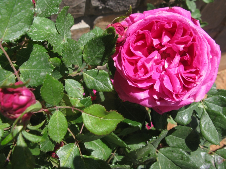 Rosa X Damascena, the source of Omani rosewater from the Jebel Al Akhdar
