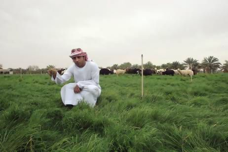Mohammed Said Al Mazrouei with his herd of sheep. Integrated farming that combines date and forage production with livestock rearing marks a profound shift in Abu Dhabi's farming methods (Ravindranath K/The Nationl)
